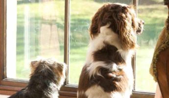 Dogs Looking Out of Window